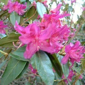 Rhododendron concinnum  - Find Azleas,Camellias,Hydrangea and Rhododendrons at Loder Plants